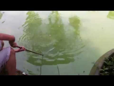 Grease bait fishing catfish - Mồi mỡ bò,câu cá trê(2)