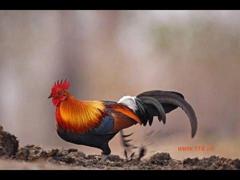 Gà rừng rặt 2014 - mua bán gà rừng