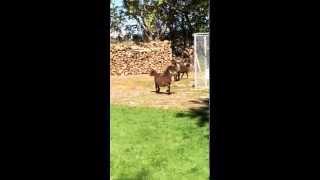 Les minis chevaux s'amusent à la pension