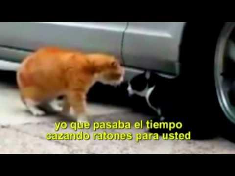 pelea de gatos, subtitulado en español