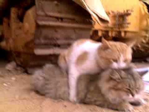 ليلة دخلة القط فندم  ( الجزء الثاني ) 2 بس عليمي Marriage cats