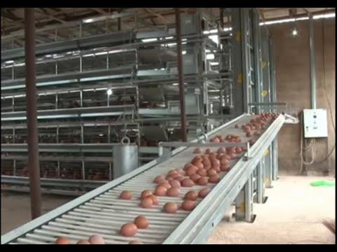 Xem người Mỹ nuôi gà, lấy trứng dọn phân tự động quá đỉnh.