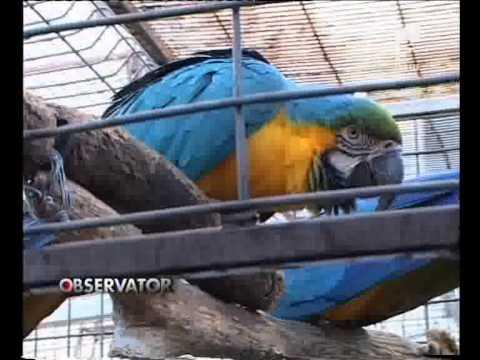 Papagali vorbitori.flv