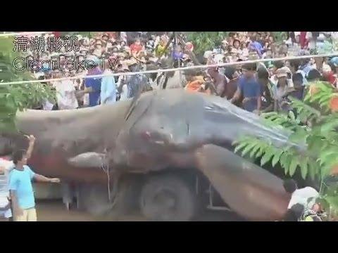 ¿GIGANTE MONSTRUO MARINO MUERTO EN BAJA CAMBOYA? 21 DE NOVIEMBRE 2013 (EXPLICACIÓN)