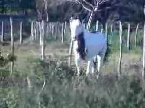 Cavalo Paint Horse para vaquejada