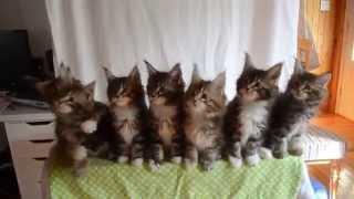Kittens Born April 10, 2014 GC Triskel Naomi Sun X GC