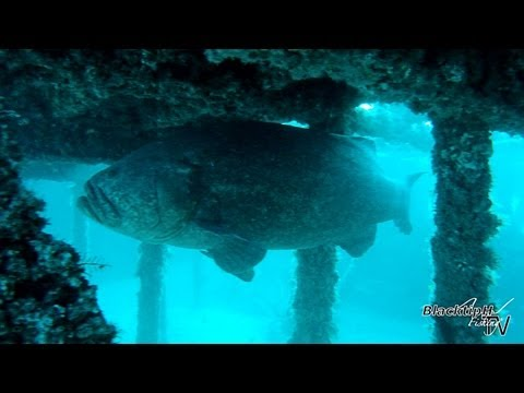 Goliath Grouper Hotel