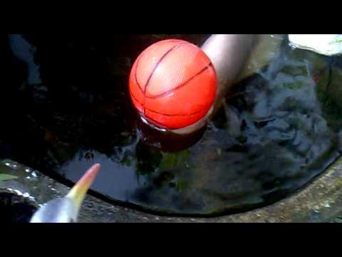 ปลาแรดเผือกเล่นบาส