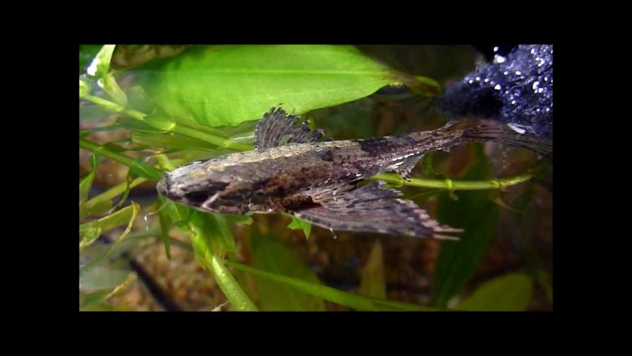 African butterfly fish youtube for African butterfly fish