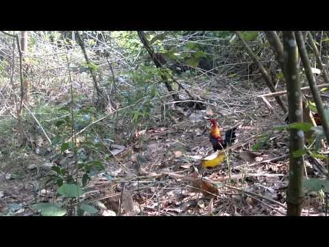 Bẫy Gà Rừng Ngày 18/03/2015 Na Hang - Tuyên Quang 0166 566 3999 (Đã Bán)