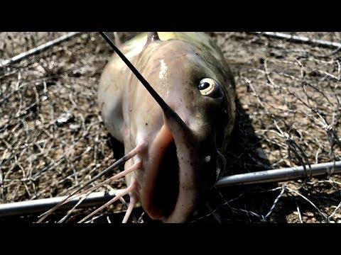 Catfish bait - Mồi Câu cá trê(1)Mồi đúng,không cần biết câu
