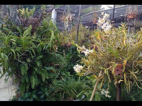 Phần 1: Hoa mắt với Vườn Lan rừng đủ các loại lan Quý số 1 | Orchid Garden | (Phần 2 cực hay)
