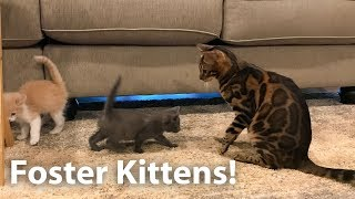 Foster Kittens Meet The Bengals