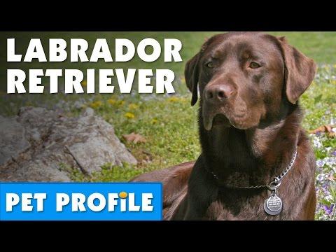 Labrador Retriever Pet Profile | Bondi Vet