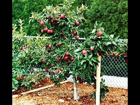 how to sex a apple tree
