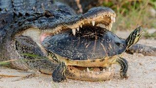 Aligator je ulovio i krenuo da jede kornjaču, no uslijedilo je nešto što ni on sam NIJE OČEKIVAO… (VIDEO)