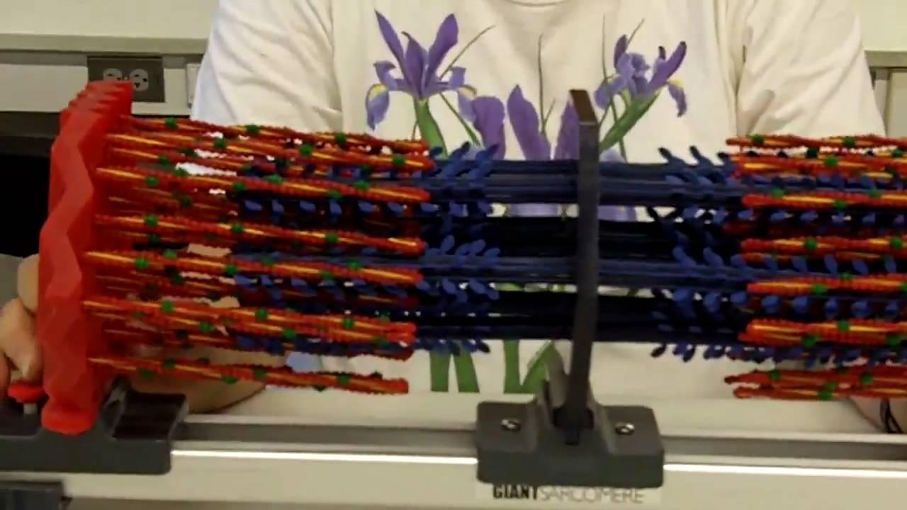Sliding Filament Sarcomere - YouTube