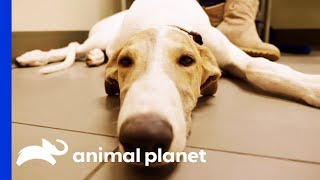 """Dr. Blue Meets """"The Unicorn Of The Vet World"""" - An Adorable Greyhound Pup! 