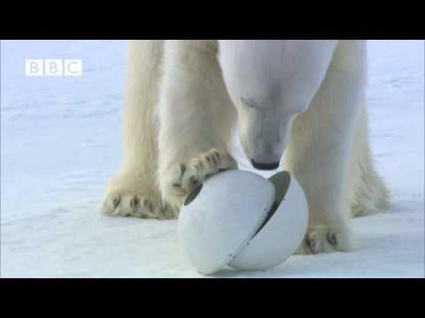 Un ours polaire s'attaque à la caméra