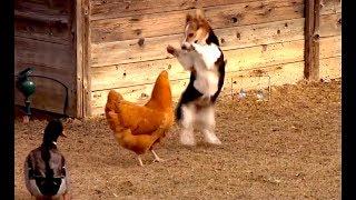 Snimao je u svom dvorištu borbu između psa i kokoške, no čekajte da vidite šta će uraditi PATKA! (VIDEO)