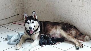 Siberian Husky Giving Birth Puppies - Husky Siberiano Dando a Luz Cachorros