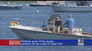 7 Great White Sharks Spotted In Cape Cod Bay