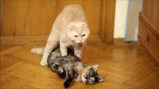 """Cats mating. Cat """"revives"""" and mates his girlfriend."""