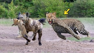Epic Battle Of King Hyena Vs Leopard - The God can't help Mother Leopard save Cubs escape of Hyena