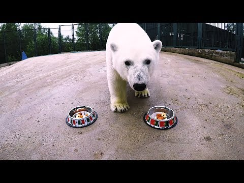 Nika the Bear predicts Portugal vs Mexico winner -  2017 Fifa Confederations Cup