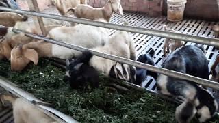 Tăng thêm thu nhập và phân bón cho nghề vườn từ mô hình nuôi dê...