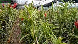 nhân giống hoa lan mokara đơn giản |Minh hoa lan ngo|flowers|orchid