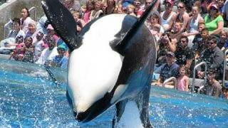 """SeaWorld's old """"Shamu"""" show (with trainers in the water!)"""
