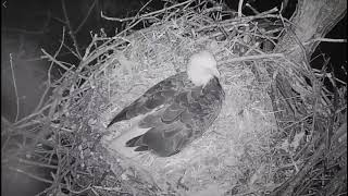 Bald eagle nest attacked by raccoon near Hanover