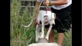 Repeat youtube video Dogo Pups Training www.USHogOutfitters.com