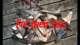 サメ保護2
