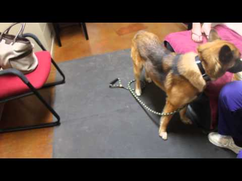 Abnormal aggressive circling in a dog (Video 1--prior to the abnormal behavior)