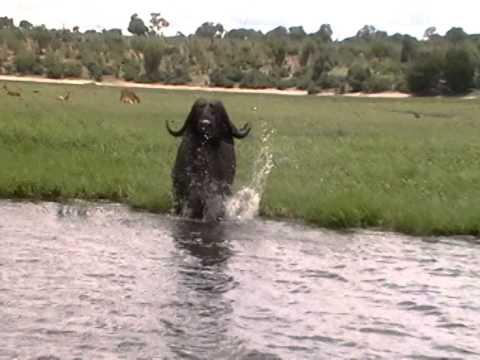 Zalijetanje afričkog bivola