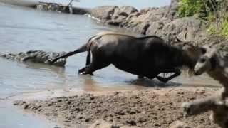 Noble Wildebeest vs. Massive Crocodile