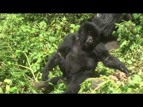 Gorilla family - Rwanda