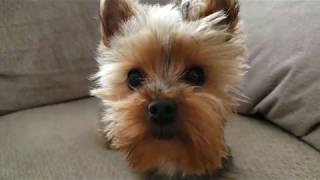 My Happy Dogs Playing on the Bed Lhasa Apso & Funny Toy Yorkie Barking