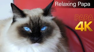 Relaxing cat, happy CAT Purring Smoothly, Comforting Sounds for Sleeping, Relaxation