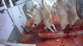 بالفيديو.. مجزر فرنسى يعذب الأبقار بوحشية قبل ذبحها ببطء