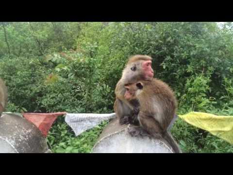 Monkeys at Dambulla Temple