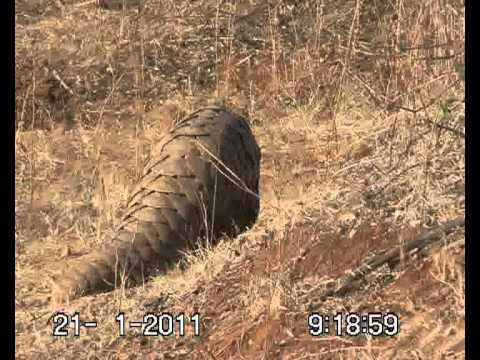 LIONS V/S PANGOLIN FIGHT IN GUJRAT, INDIA