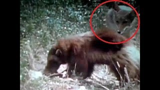 Coyote vs wolverine vs mink vs lynx. Coyote hunting fails. Hunting coyotes.