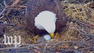 Bald eagle hatches in D.C.