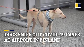Finland's coronavirus-sniffing dogs find Covid-19 carriers..