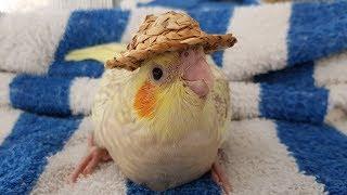 Putting tiny hats on baby birds