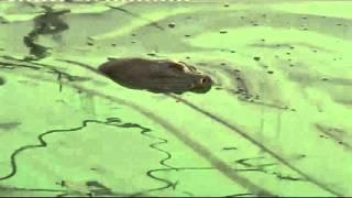 Cận Cảnh Rùa Hồ Gươm Trút Hơi Thở Cuối Cùng