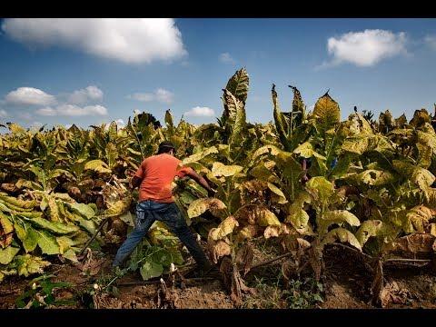 Baixar MADE IN THE USA: Child Labor & Tobacco
